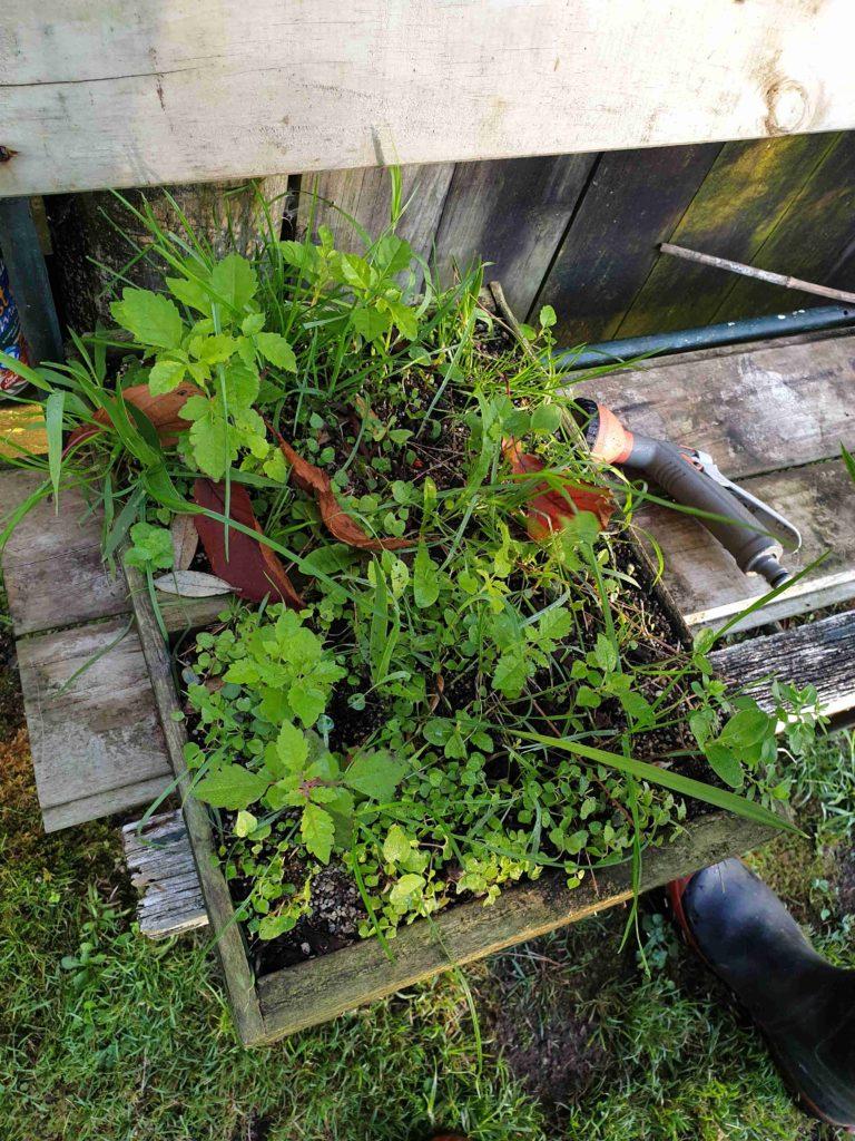 kereru poo garden